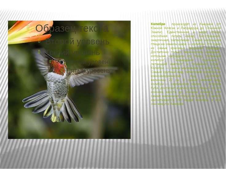 Колибри происходят из Америки (от Южной Аляски и Лабрадора до Огненной Земли)...