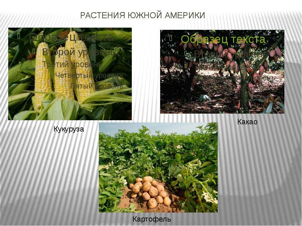 РАСТЕНИЯ ЮЖНОЙ АМЕРИКИ Кукуруза Какао Картофель