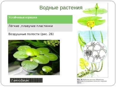 Водные растения Лимнобиум Устойчивые корешки Лёгкие ,плавучиепластинки Воздуш...