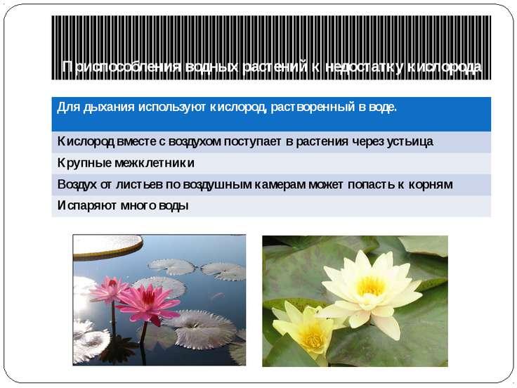 Приспособления водных растений к недостатку кислорода Для дыхания используютк...