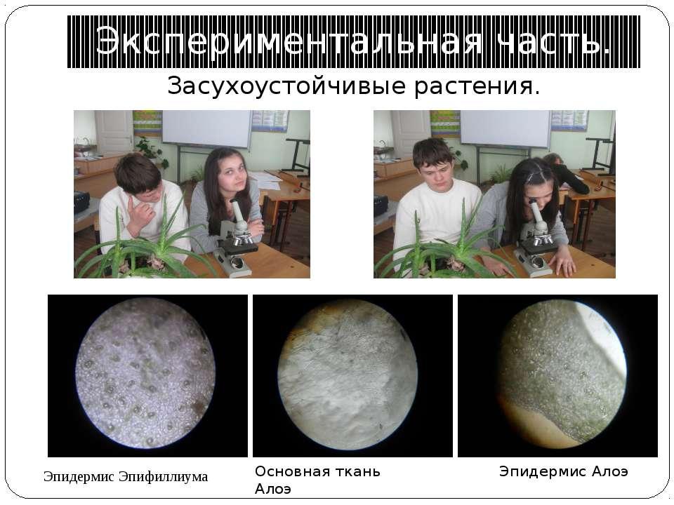 Экспериментальная часть. Засухоустойчивые растения. Эпидермис Эпифиллиума Эпи...
