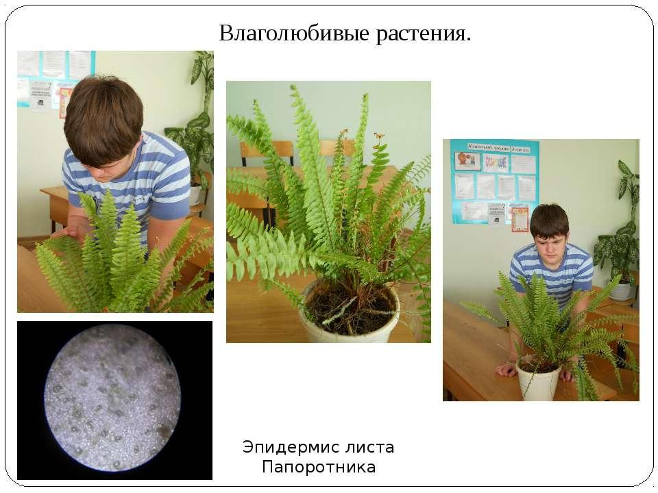 Влаголюбивые растения. Эпидермис листа Папоротника