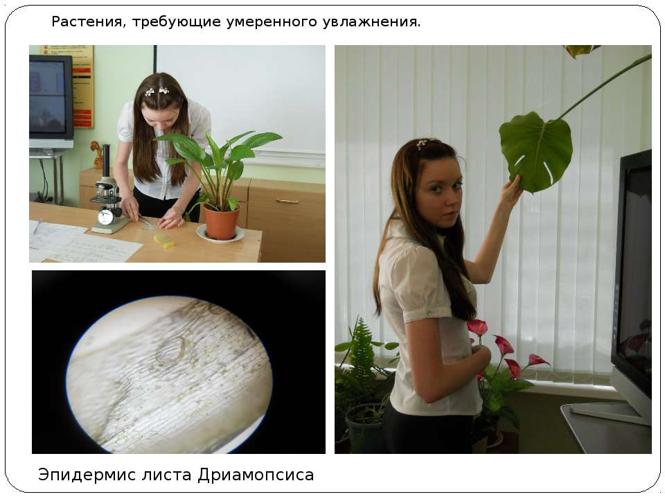 Растения, требующие умеренного увлажнения. Эпидермис листа Дриамопсиса