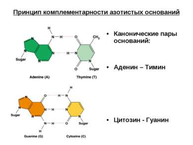Принцип комплементарности азотистых оснований Канонические пары оснований: Ад...