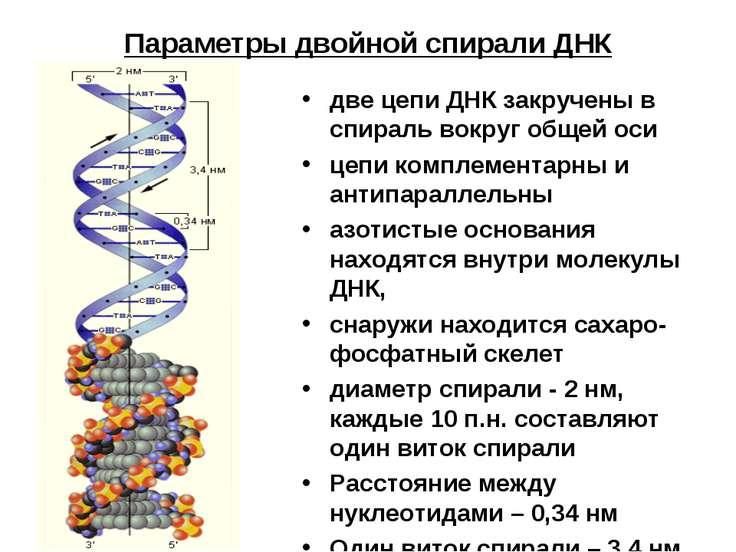 Параметры двойной спирали ДНК две цепи ДНК закручены в спираль вокруг общей о...
