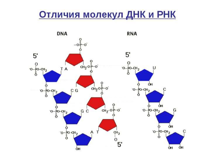 Отличия молекул ДНК и РНК