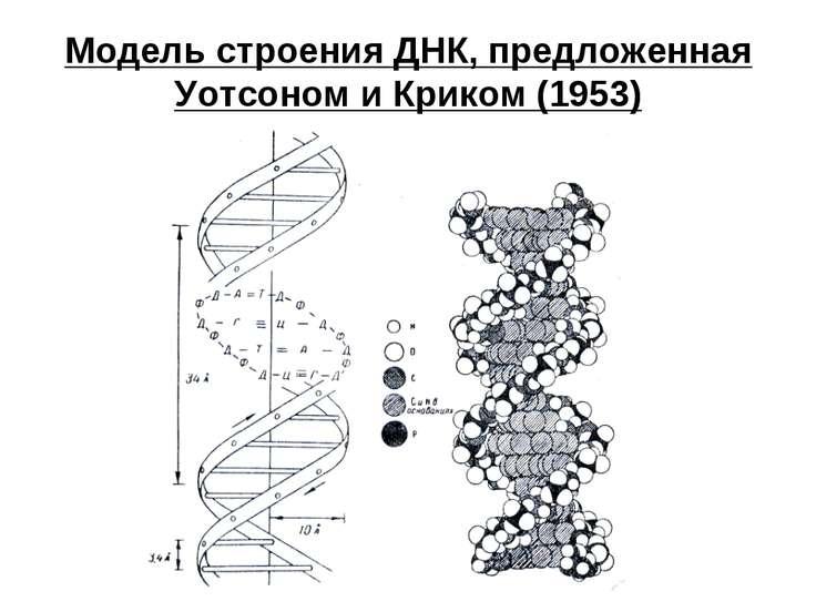 Модель строения ДНК, предложенная Уотсоном и Криком (1953)