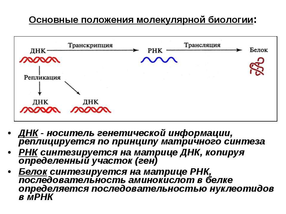 Основные положения молекулярной биологии: ДНК - носитель генетической информа...