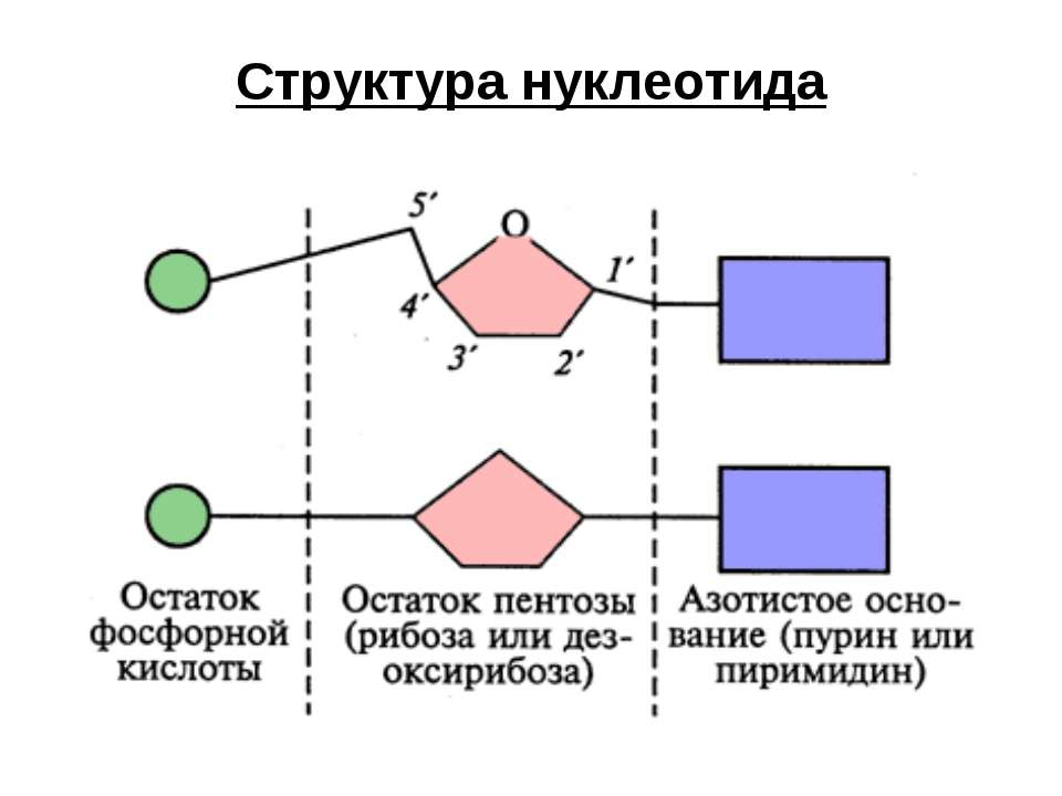 Структура нуклеотида