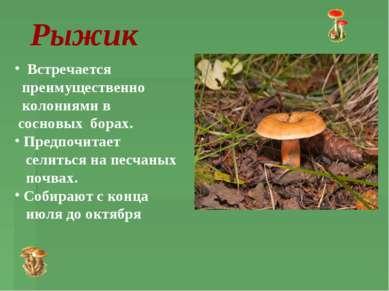 Рыжик Встречается преимущественно колониями в сосновых борах. Предпочитает се...