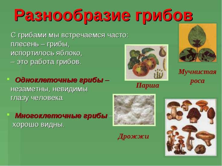 Разнообразие грибов С грибами мы встречаемся часто: плесень – грибы, испортил...