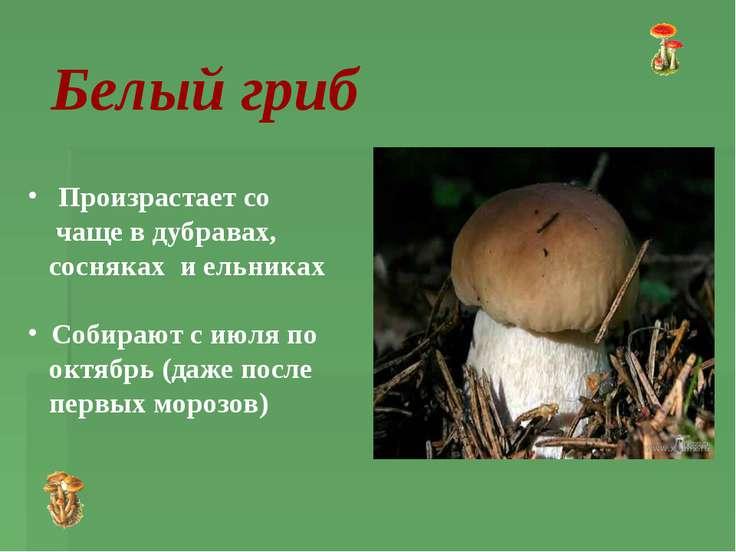 Произрастает со чаще в дубравах, сосняках и ельниках Собирают с июля по октяб...