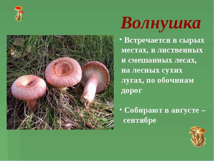 Волнушка Встречается в сырых местах, в лиственных и смешанных лесах, на лесны...