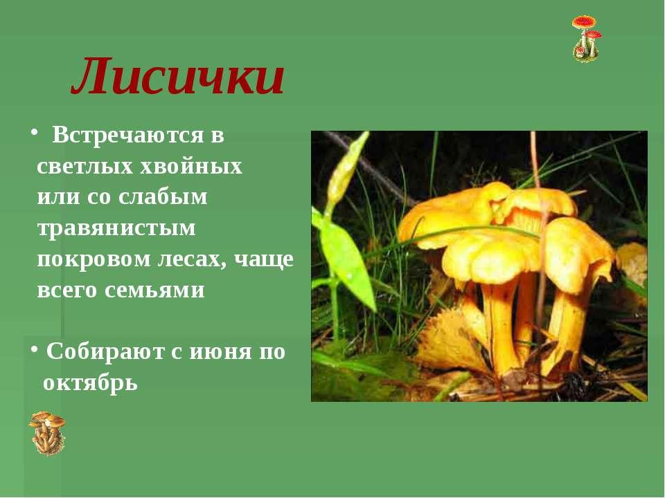 Лисички Встречаются в светлых хвойных или со слабым травянистым покровом леса...