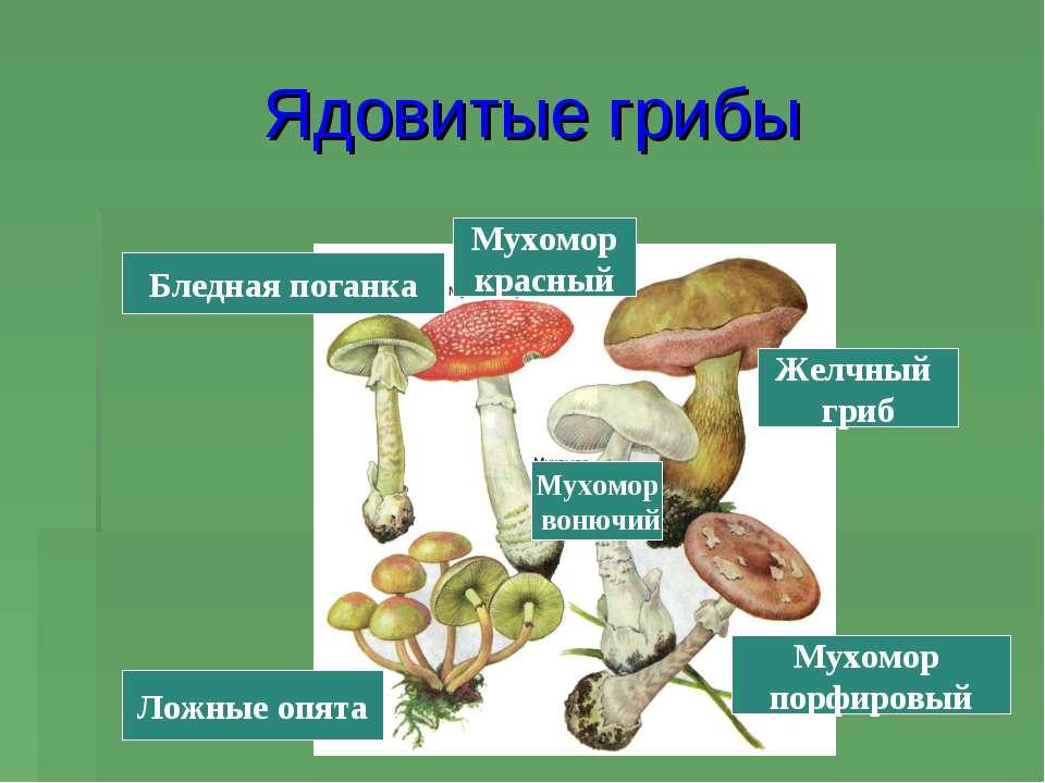 Ядовитые грибы Мухомор порфировый Желчный гриб Ложные опята Бледная поганка М...