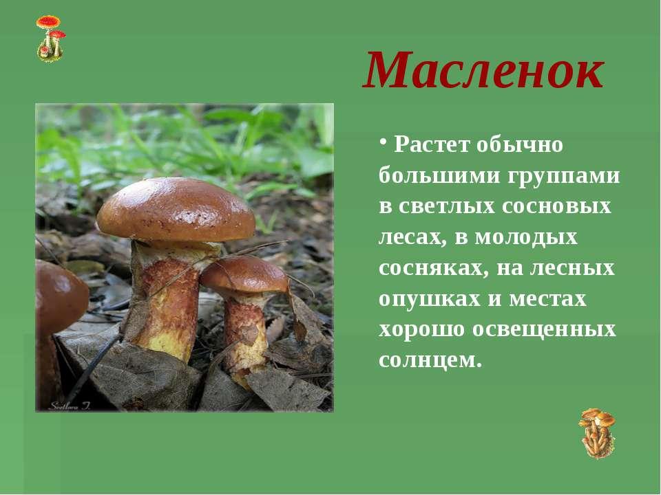 Масленок Растет обычно большими группами в светлых сосновых лесах, в молодых ...