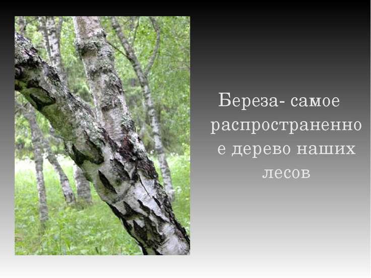 Береза- самое распространенное дерево наших лесов