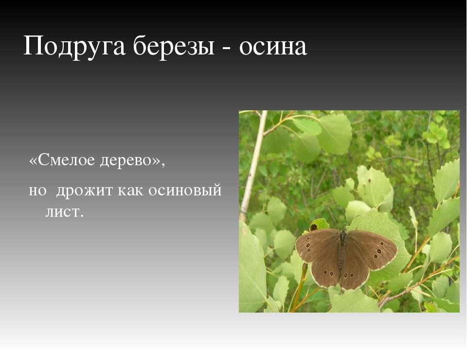 Подруга березы - осина «Смелое дерево», но дрожит как осиновый лист.