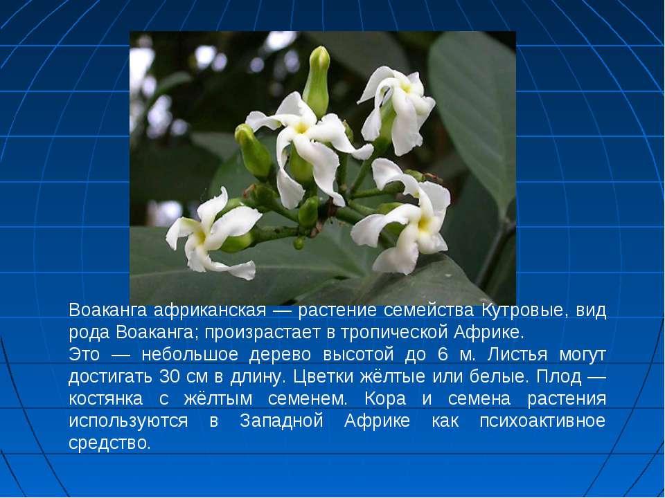 Воаканга африканская — растение семейства Кутровые, вид рода Воаканга; произр...