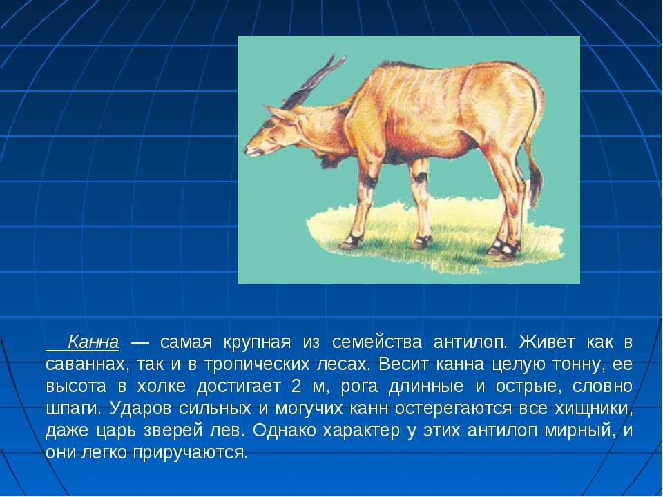Канна — самая крупная из семейства антилоп. Живет как в саваннах, так и в тро...