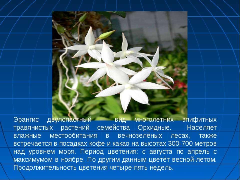 Эрангис двулопастный — вид многолетних эпифитных травянистых растений семейст...