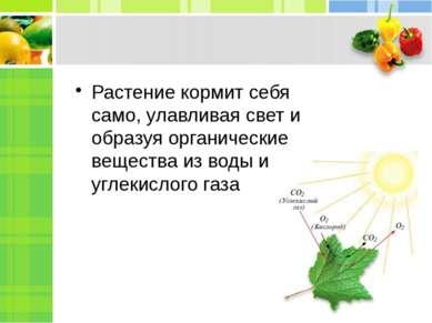 Растение кормит себя само, улавливая свет и образуя органические вещества из ...