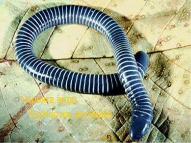 Червяга вида Syphonops annulatus
