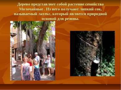 Дерево представляет собой растение семейства Молочайные . Из него получают ли...