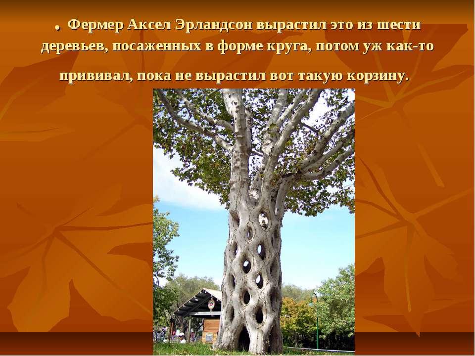 . Фермер Аксел Эрландсон вырастил это из шести деревьев, посаженных в форме к...