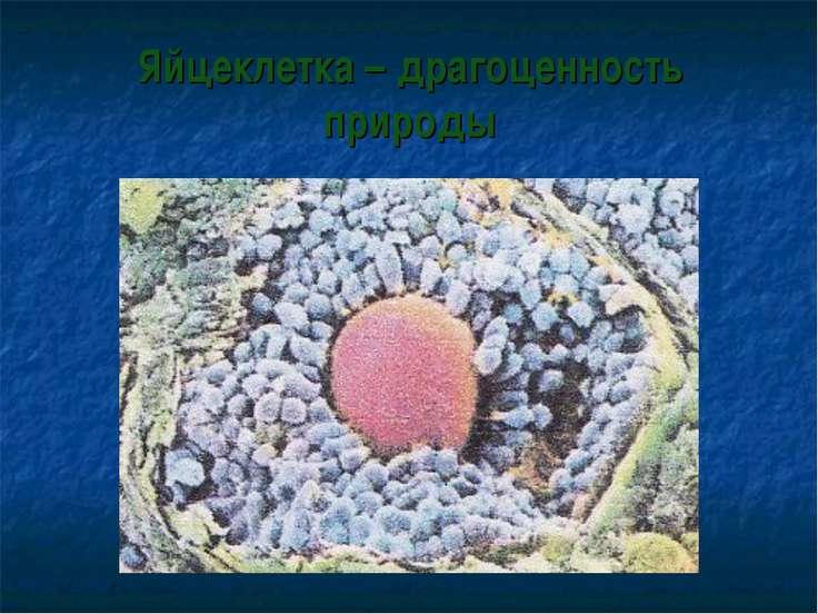 Яйцеклетка – драгоценность природы