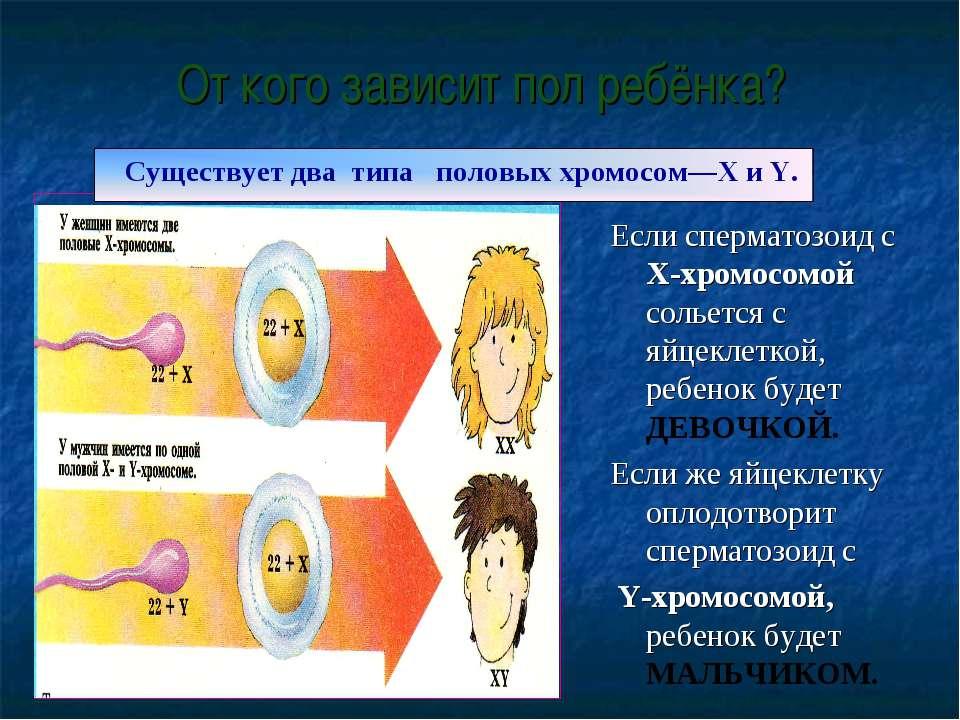 От кого зависит пол ребёнка? Если сперматозоид с X-хромосомой сольется с яйце...