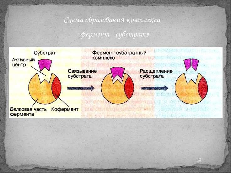 Схема образования комплекса «фермент - субстрат»