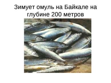 Зимует омуль на Байкале на глубине 200 метров