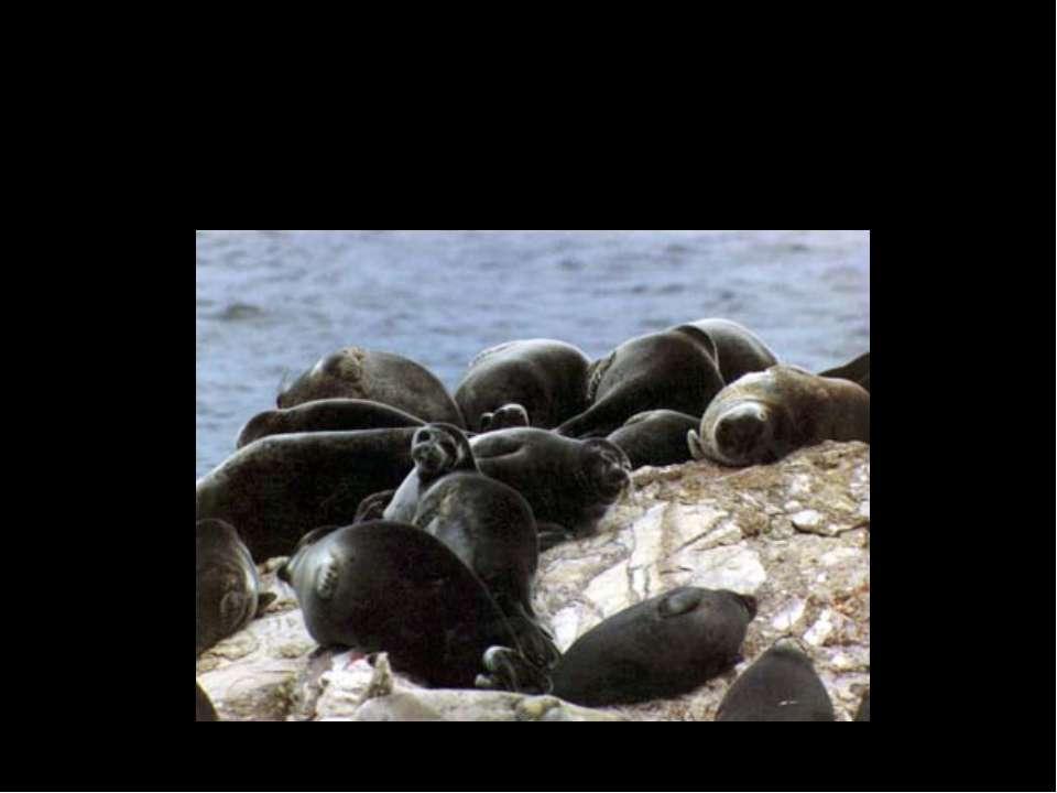 Байкальская нерпа, ценится своим мехом