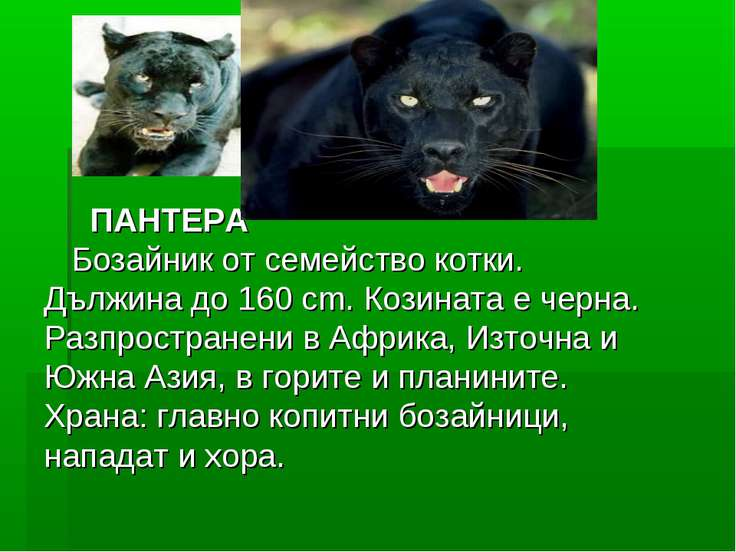 ПАНТЕРА Бозайник от семейство котки. Дължина до 160 cm. Козината е черна. ...