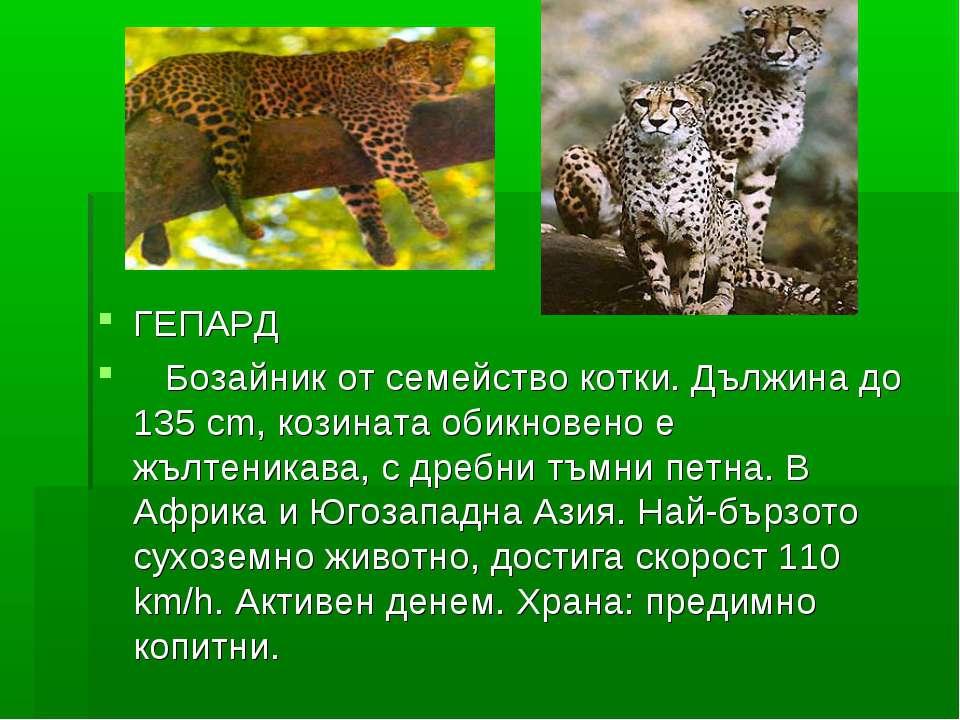 ГЕПАРД Бозайник от семейство котки. Дължина до 135 cm, козината обикновено е ...