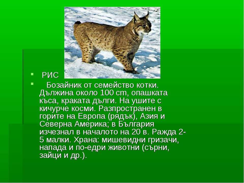 РИС Бозайник от семейство котки. Дължина около 100 cm, опашката къса, краката...