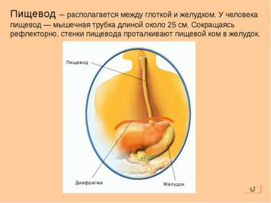 Пищевод – располагается между глоткой и желудком. У человека пищевод — мышечн...