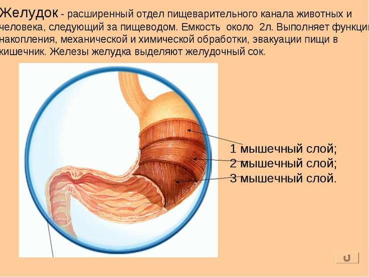 Желудок - расширенный отдел пищеварительного канала животных и человека, след...