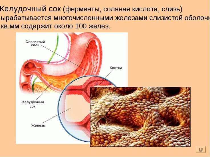 Желудочный сок (ферменты, соляная кислота, слизь) вырабатывается многочисленн...