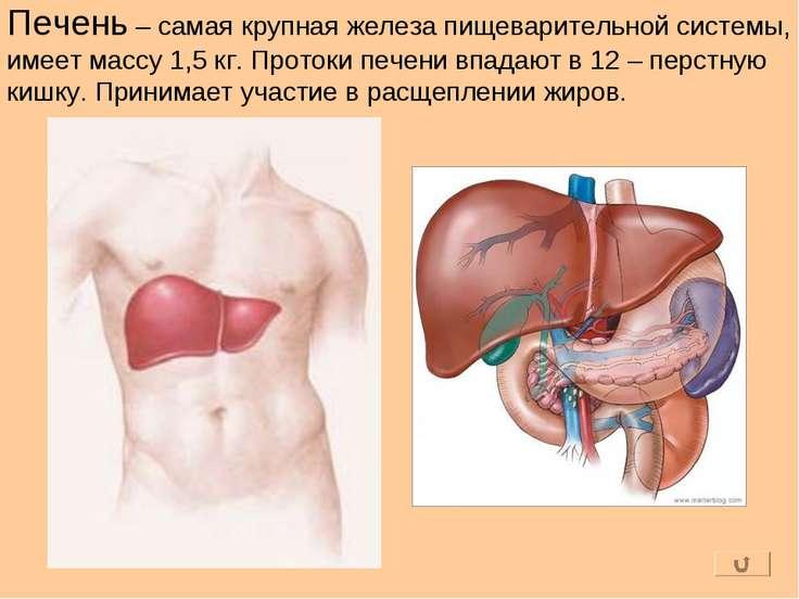 Печень – самая крупная железа пищеварительной системы, имеет массу 1,5 кг. Пр...