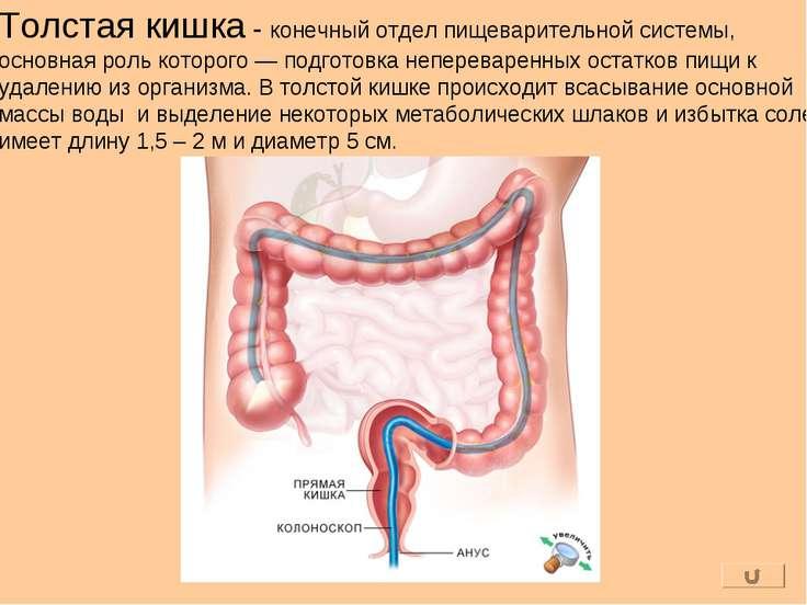 Толстая кишка - конечный отдел пищеварительной системы, основная роль которог...