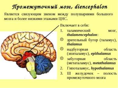 Промежуточный мозг, diencephalon Включает в себя: таламический мозг, thalamen...
