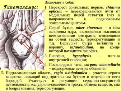 Гипоталамус: Включает в себя: Перекрест зрительных нервов, chiasma opticum – ...