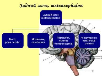Задний мозг, metencephalon