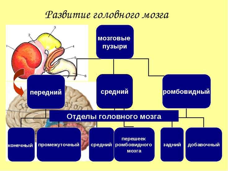 Развитие головного мозга Отделы головного мозга