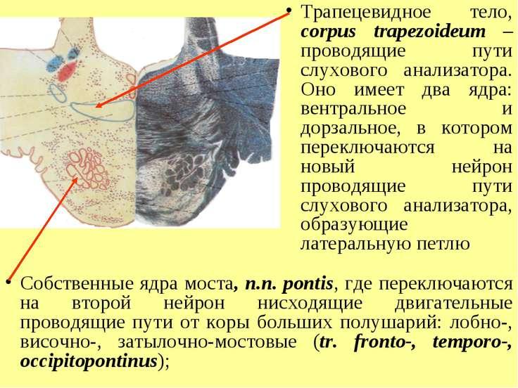 Трапецевидное тело, corpus trapezoideum – проводящие пути слухового анализато...