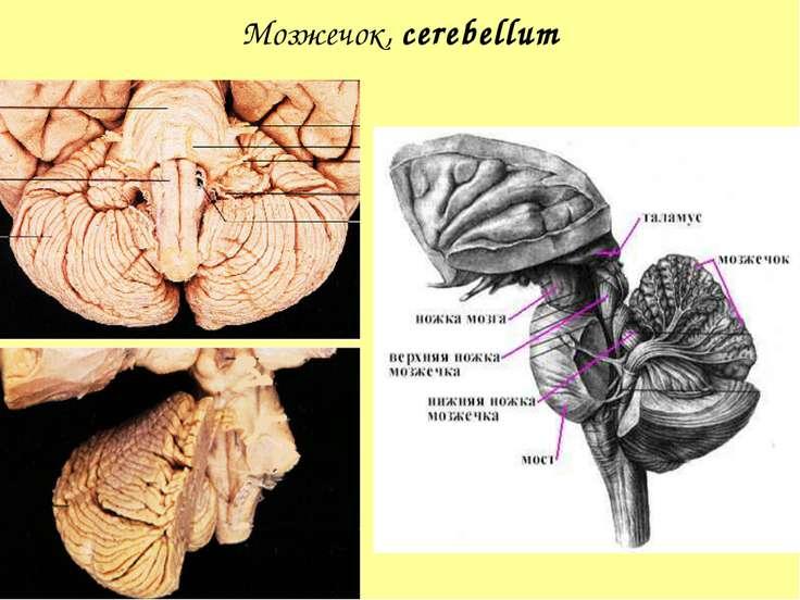 Мозжечок, cerebellum