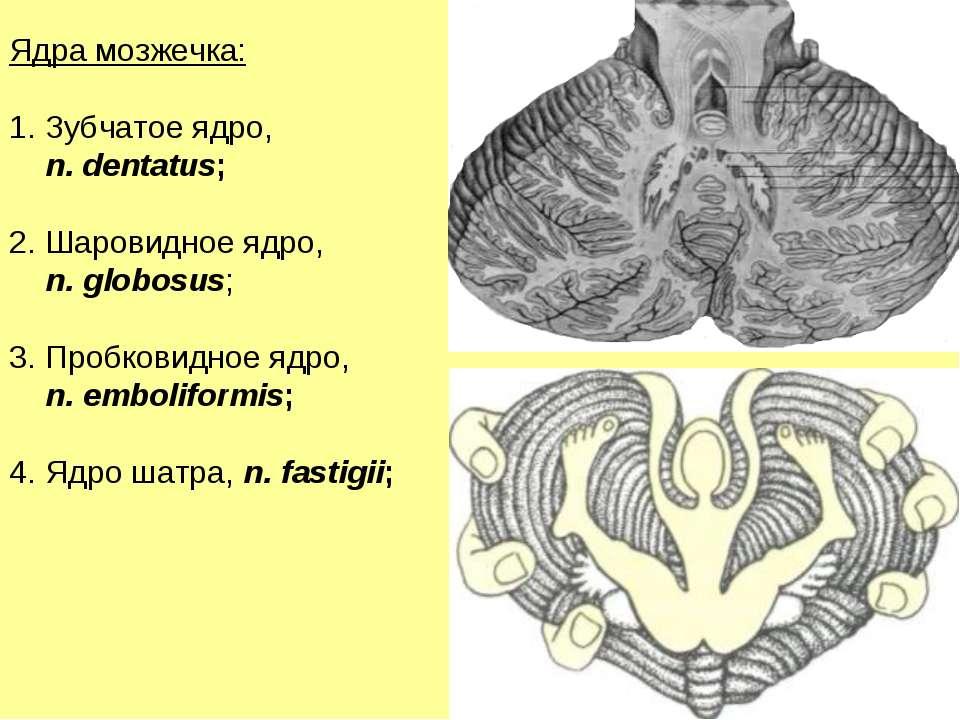 Ядра мозжечка: Зубчатое ядро, n. dentatus; Шаровидное ядро, n. globosus; Проб...