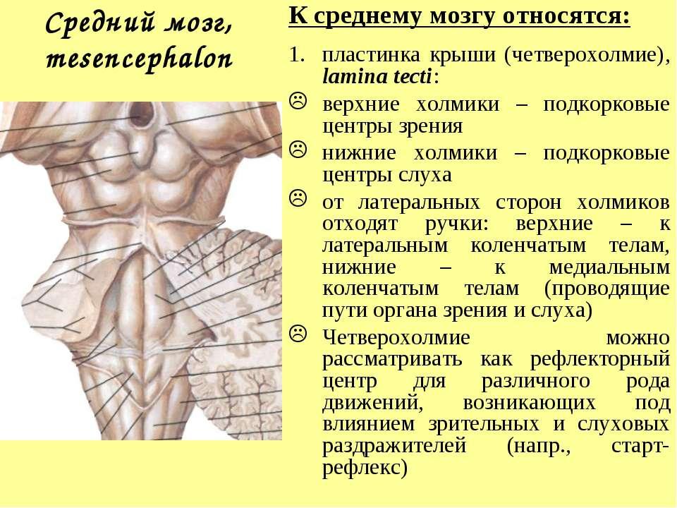 Средний мозг, mesencephalon К среднему мозгу относятся: пластинка крыши (четв...
